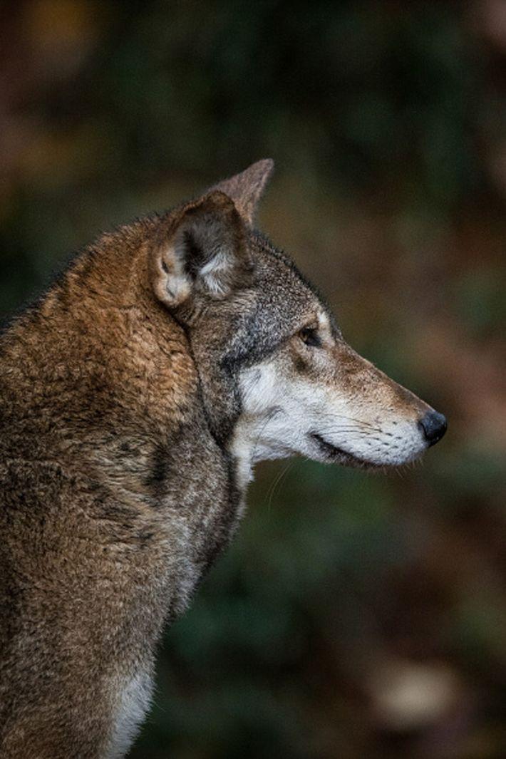 01-red-wolf-north-carolina