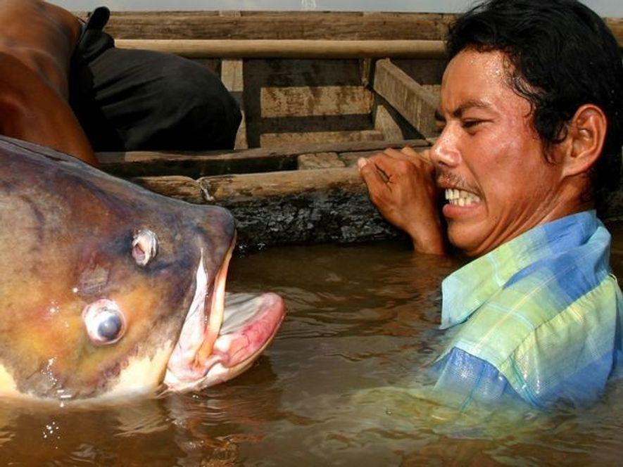 Un homme cambodgien fait la grimace en tombant nez-à-nez avec un Catlocarpio siamensis sur le Tonlé ...
