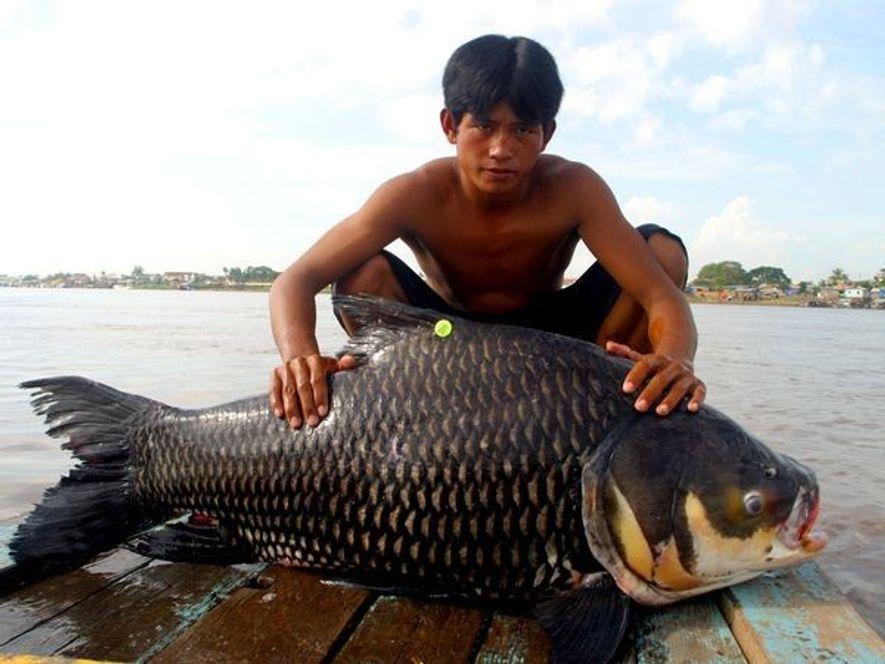 Un jeune garçon pose avec un Catlocarpio siamensis sur le Tonlé Sap près de Phnom Penh, ...