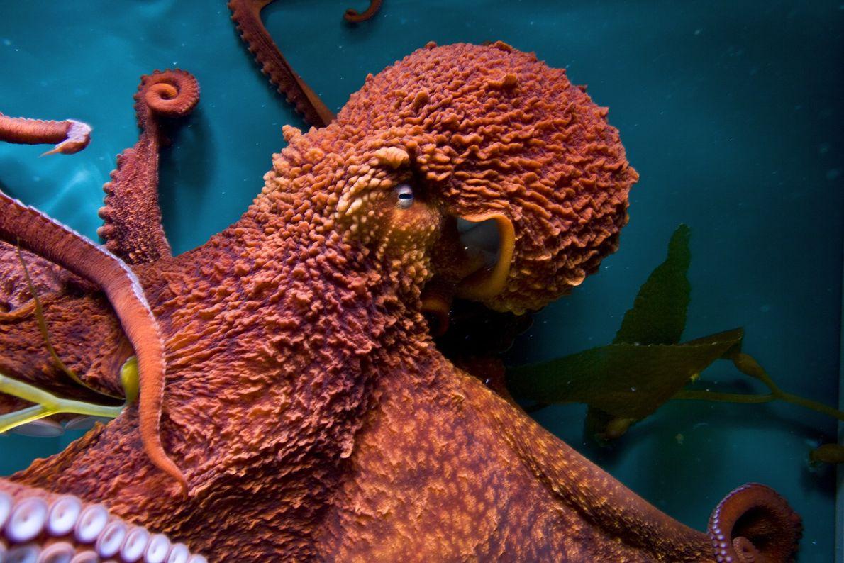 Les pieuvres géantes du Pacifique ont appris à ouvrir des pots, à imiter d'autres pieuvres et ...