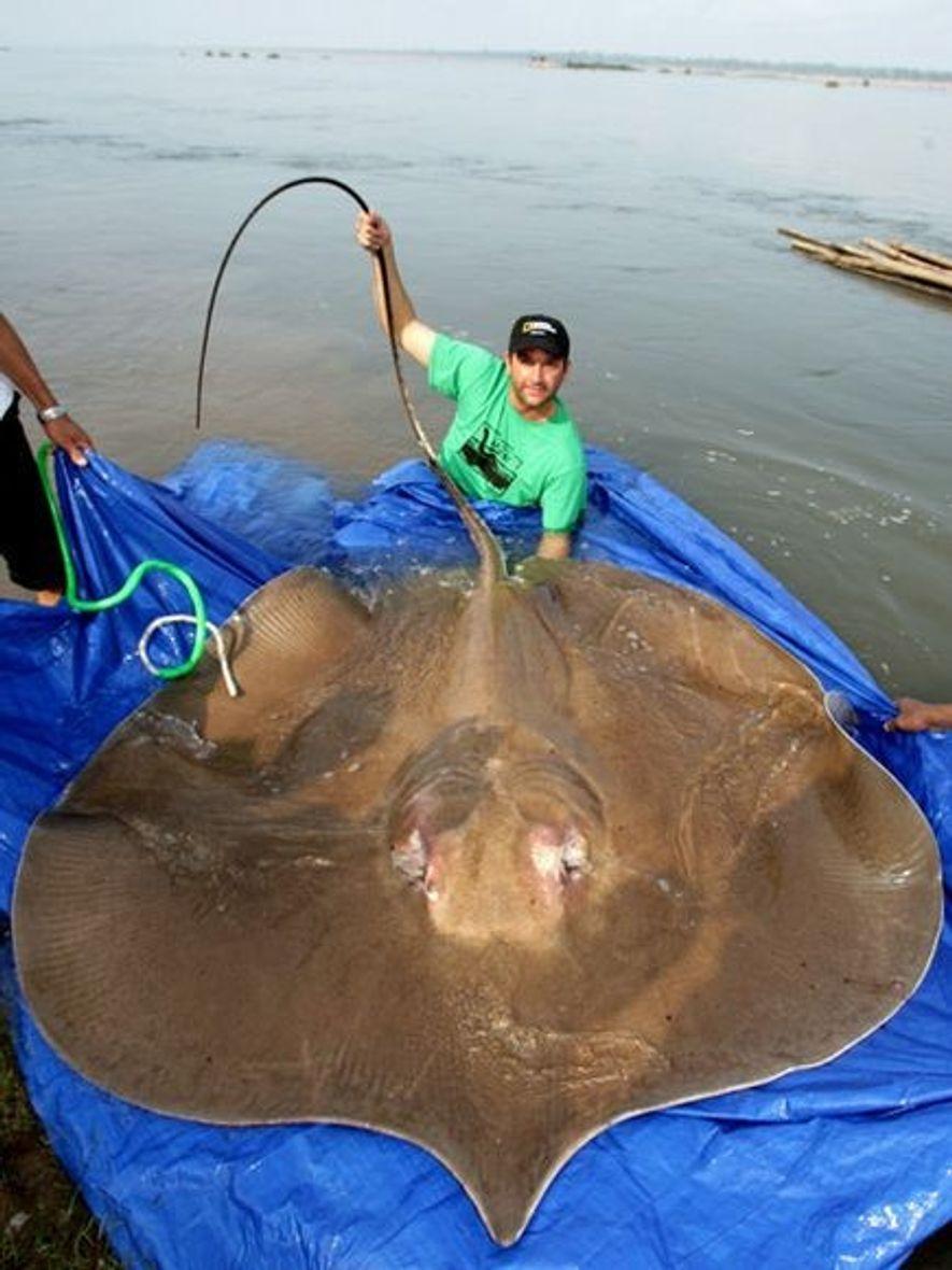 Les spécialistes des poissons affirment que la raie géante, comme celle-ci dans le Mékong au Cambodge, ...