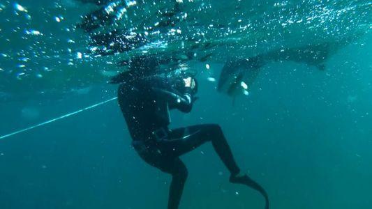 Un plongeur nage à côté d'un requin-tigre gigantesque