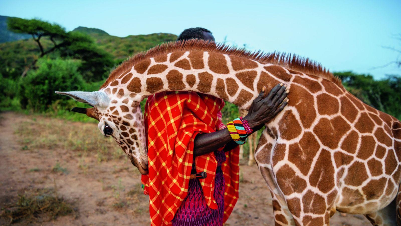 Une girafe orpheline frotte sa tête contre un aide-soigneur, au camp de Sarara, dans le nord ...
