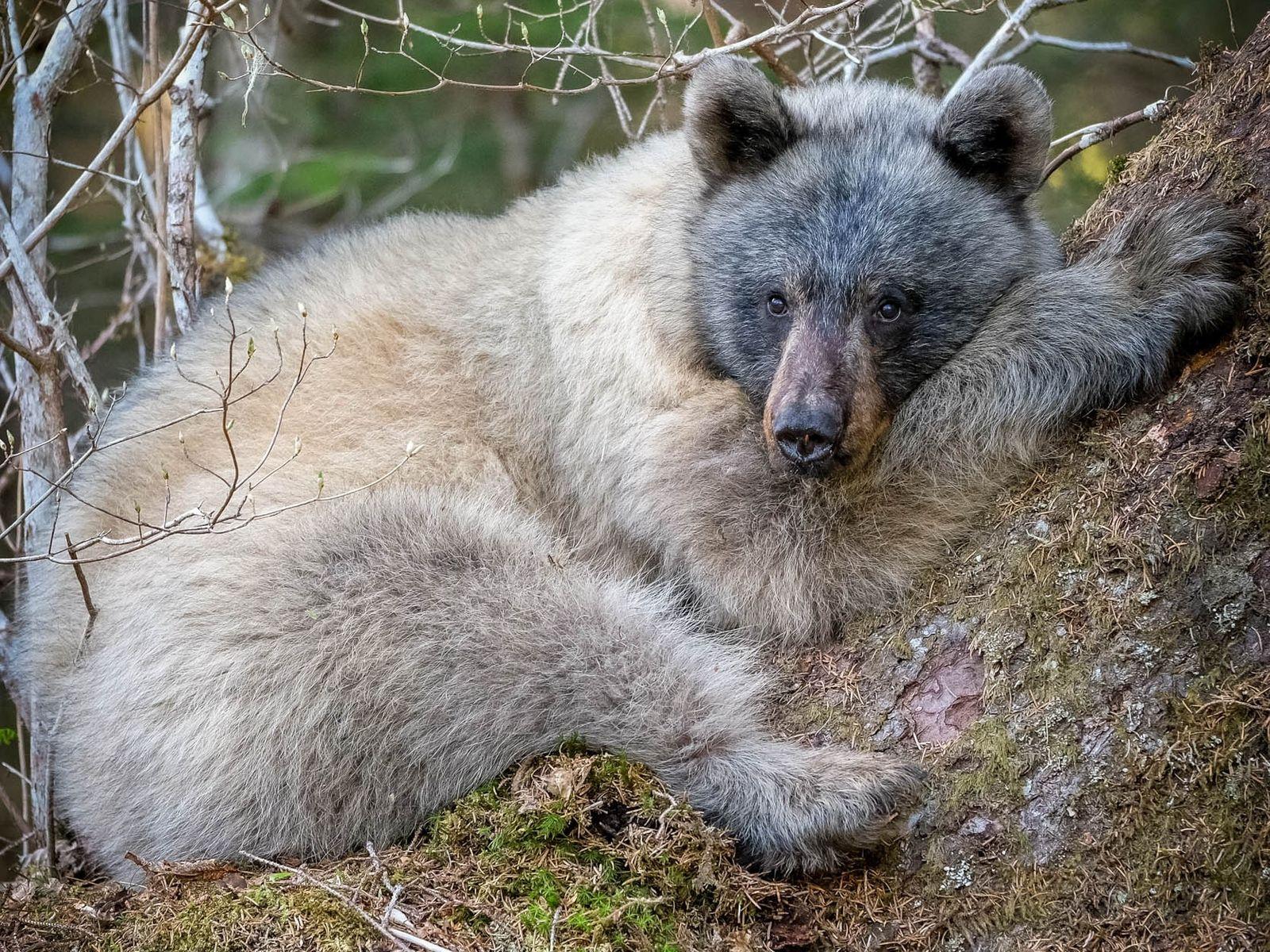Un Ursus americanus emmonsii se repose au pied d'un arbre dans la forêt nationale de Tongass ...