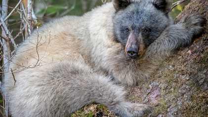 Climat : l'avenir incertain des ours au pelage bleu argent