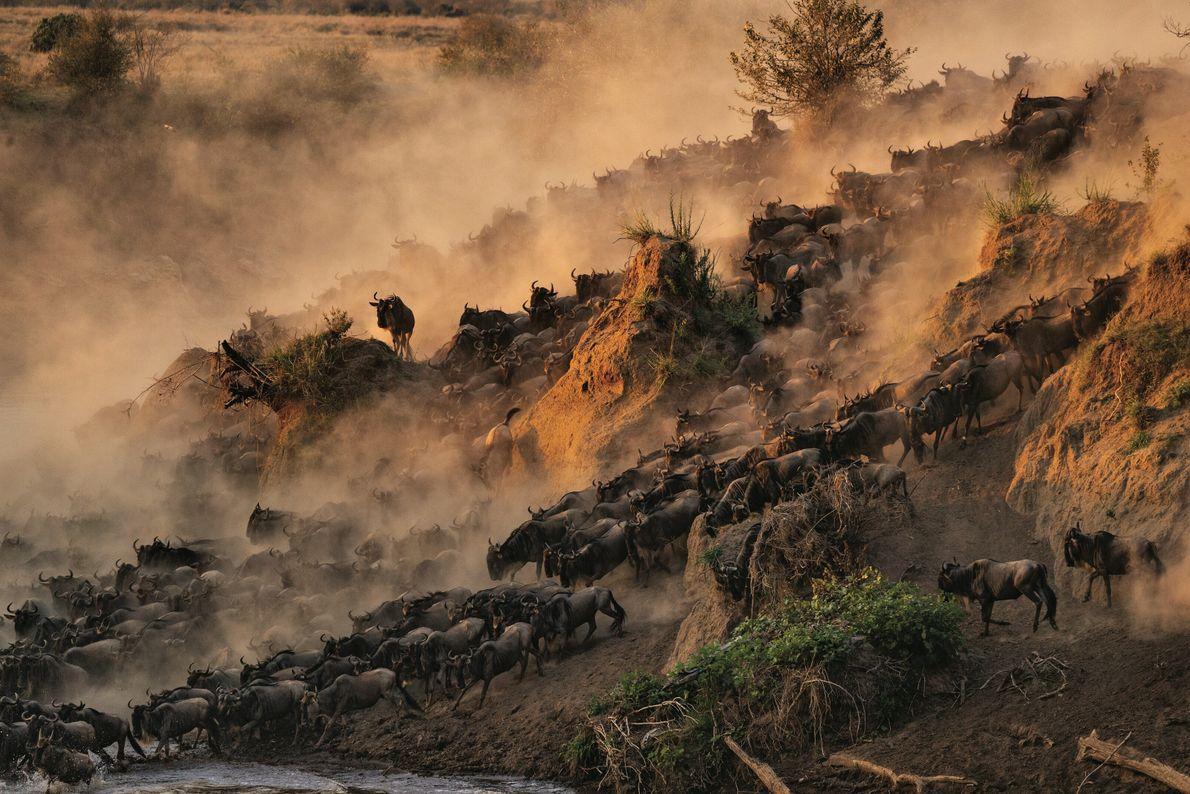 La lutte pour la vie. Sur les berges de la Mara, Kenya.  Chaque année, plus de 1 ...