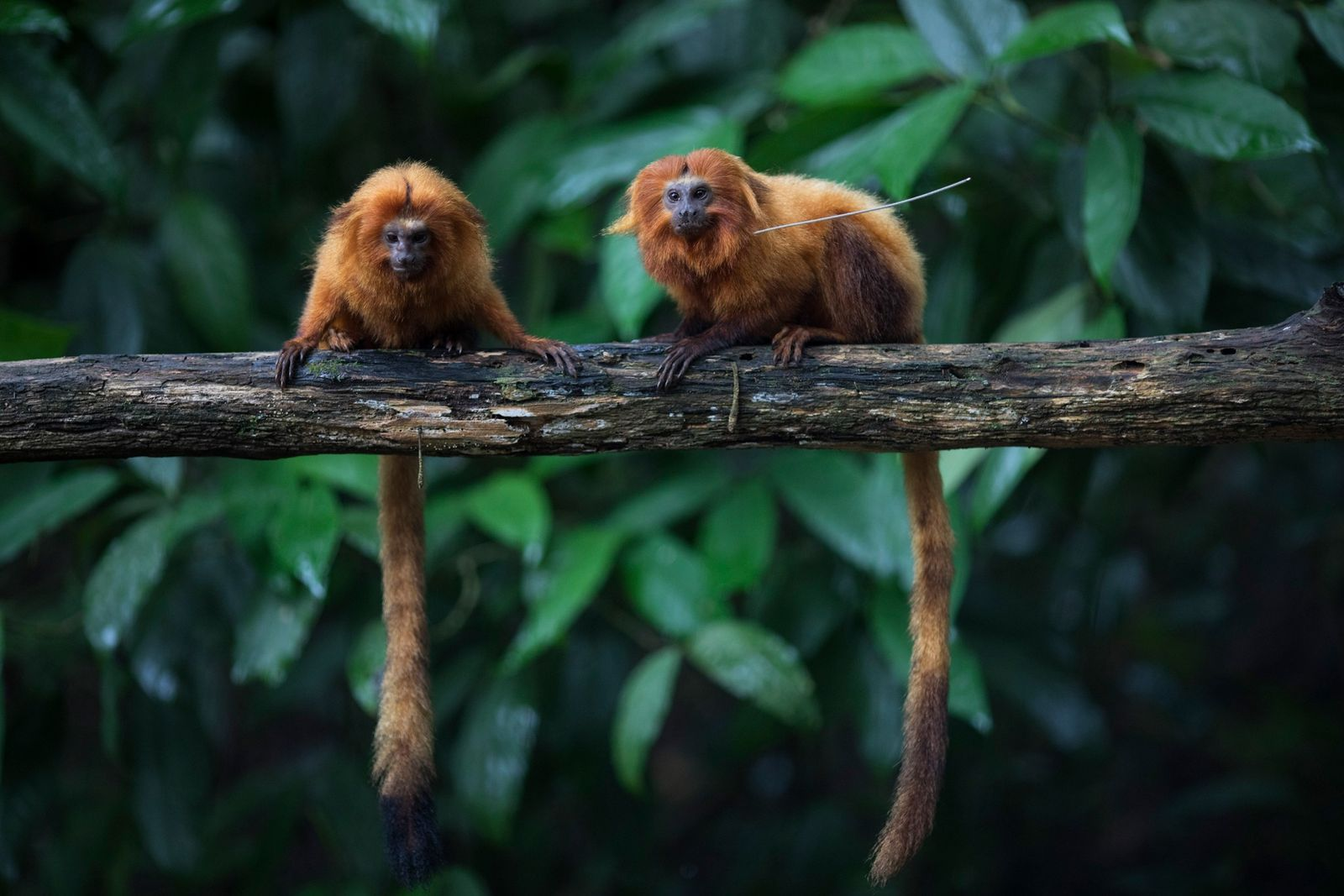 Le coronavirus menace (aussi) la survie de ces singes en voie de disparition