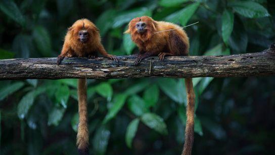 Des tamarins-lions dorés, en voie de disparition, sont assis sur une branche dans la forêt atlantique, ...