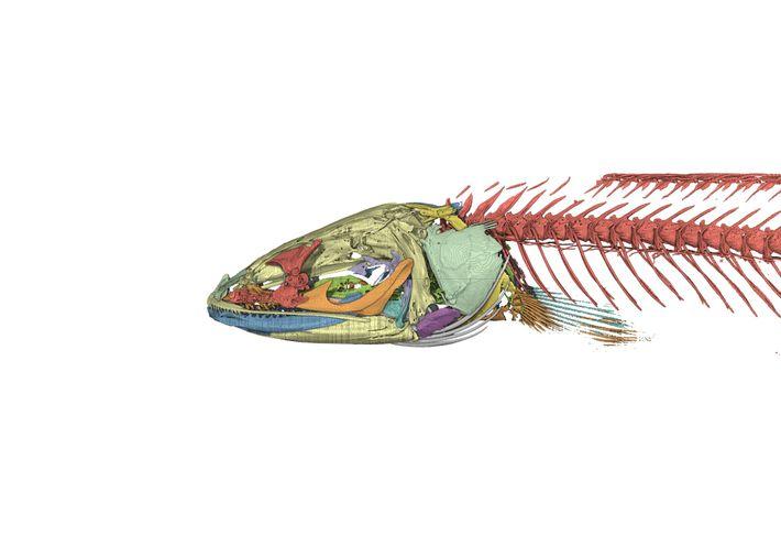 Modélisation informatique du squelette d'Aenigmachanna gollum. L'étude de l'anatomie du poisson a permis de classer cette ...