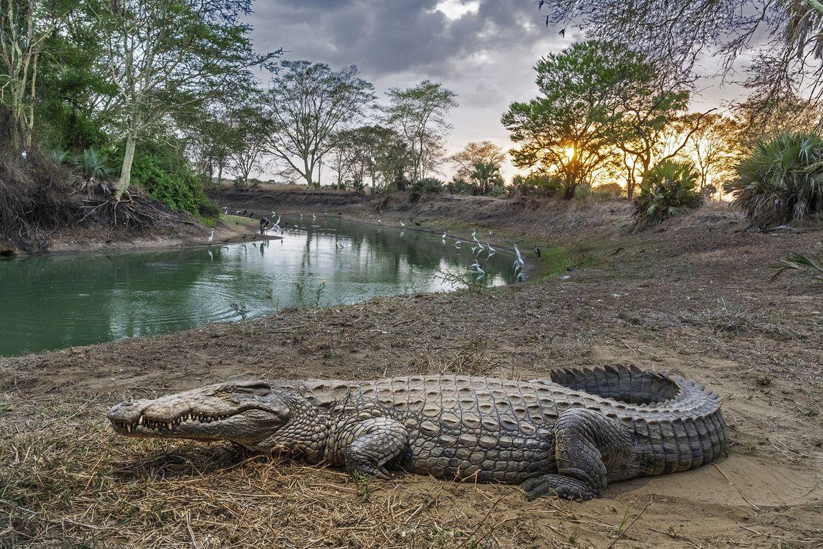 Un crocodile se prélasse dans le parc national de Gorongosa au Mozambique, où l'avenir de la ...