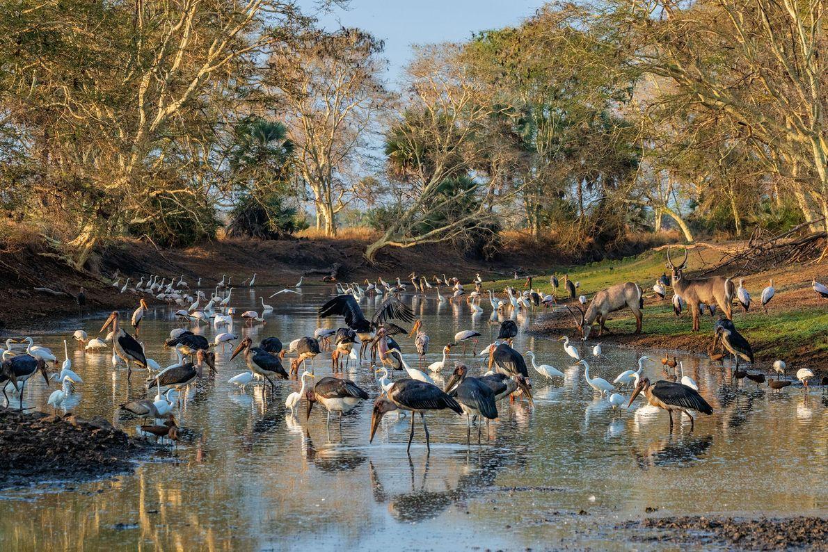 Alors que la saison des pluies touche à sa fin dans le parc national de Gorongosa, ...