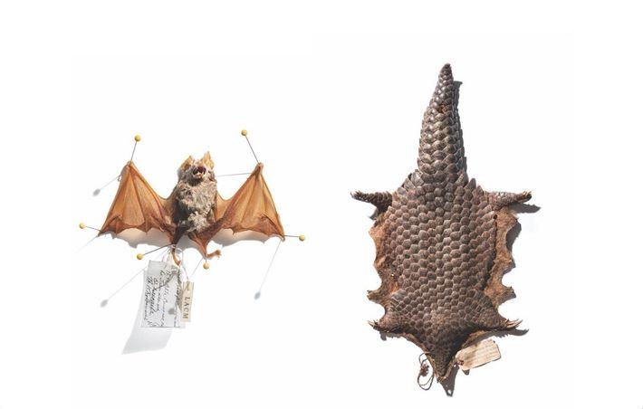 D'où le coronavirus Sras-CoV-2 vient-il ? Le grand rhinolophe (à gauche) et le pangolin de Chine ...