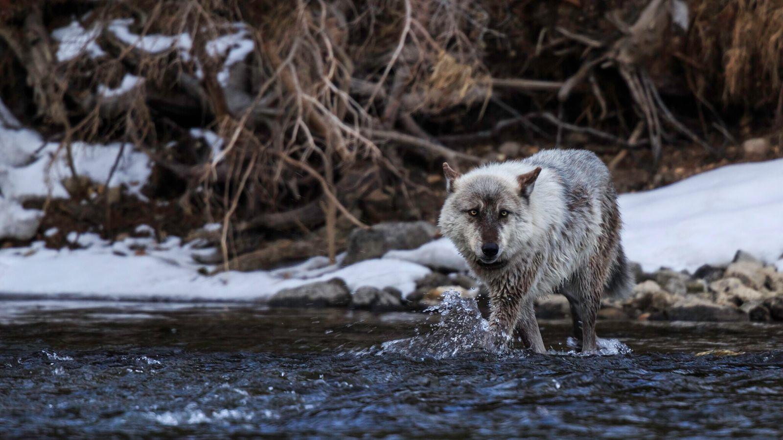 En novembre, les électeurs du Colorado ont approuvé une mesure de réintroduction des loups gris, chassés ...