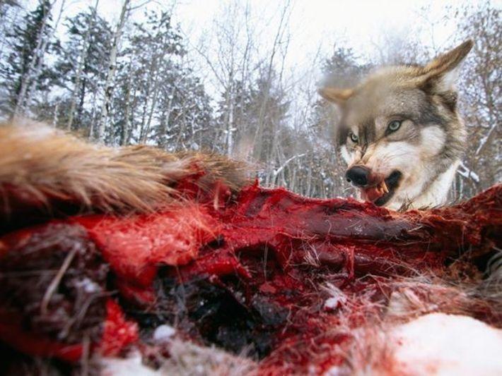 Loup gris et carcasse