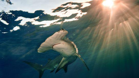 Le grand requin-marteau (ici nageant au large des Bahamas) est une espèce en danger critique.
