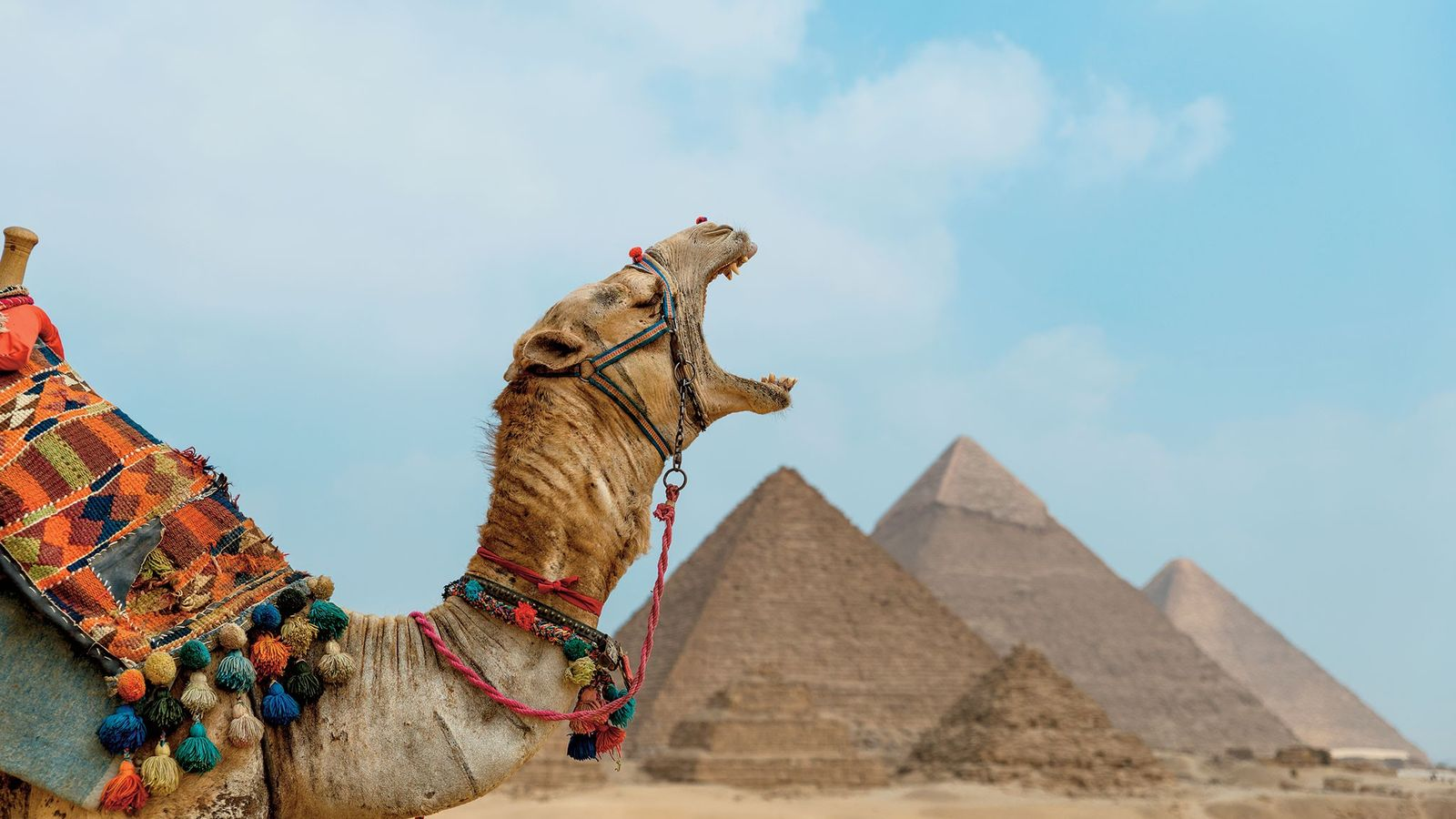 Un dromadaire fatigué laisse échapper un bâillement devant les pyramides de Gizeh.