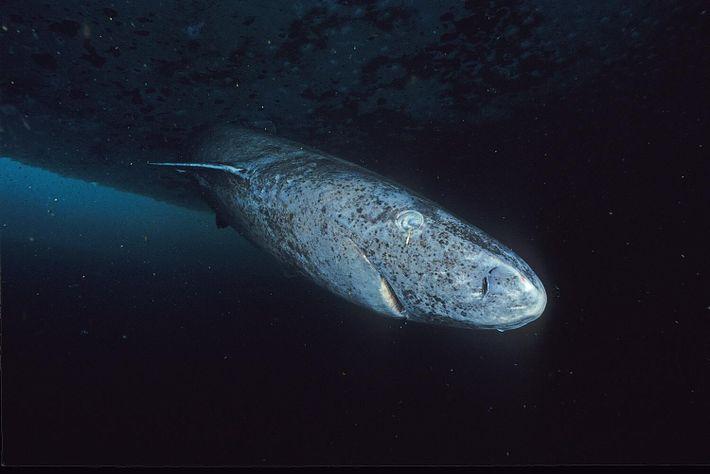 Le requin du Groenland, relique aveugle de l'évolution