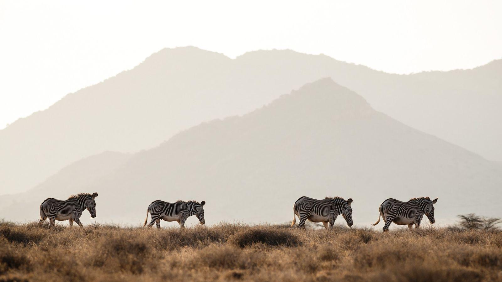Des zèbres de Grévy progressent à travers les plaines dans le nord du Kenya. Cette espèce ...
