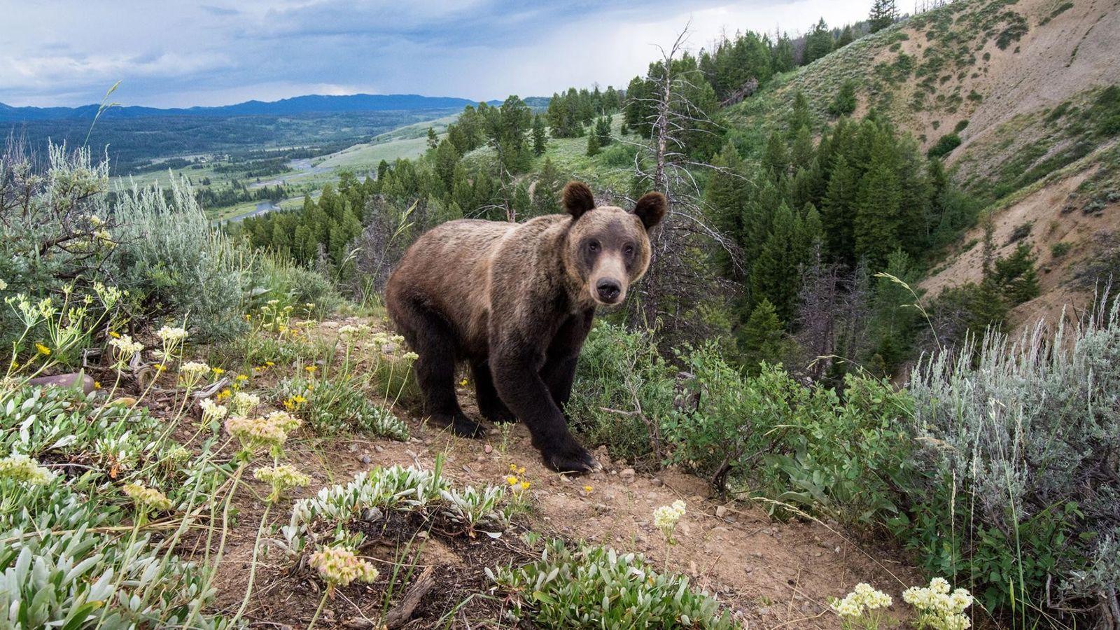 Ce grizzli a été pris en photo par un piège photographique dans la forêt nationale de ...