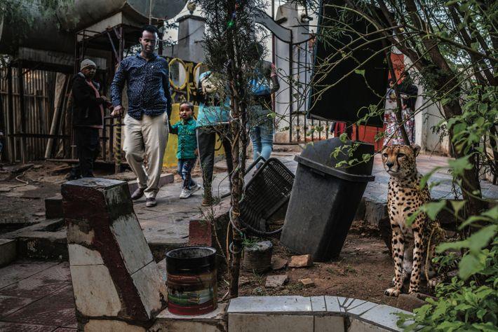À Hargeisa, la capitale somalilandaise, un guépard est exhibé à l'entrée d'un restaurant, près d'une poubelle et ...