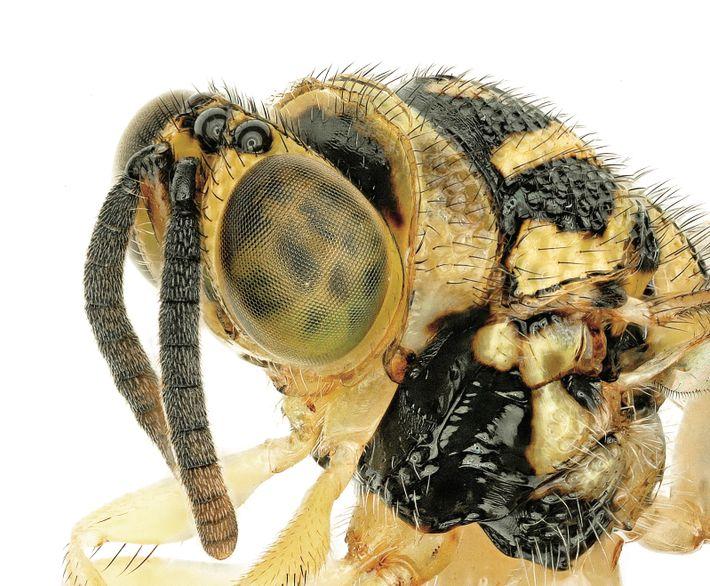 Souvent plus petites qu'un grain de riz, les guêpes chalcididés pondent leurs oeufs dans d'autres insectes. ...