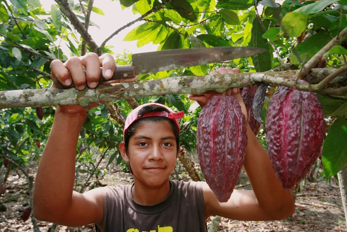 Des fèves de cacao sont prêtes à être récoltées dans une exploitation cacaotière de l'Équateur.