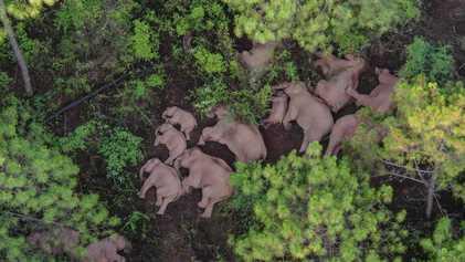 Des éléphants s'approchent dangereusement d'une grande ville chinoise