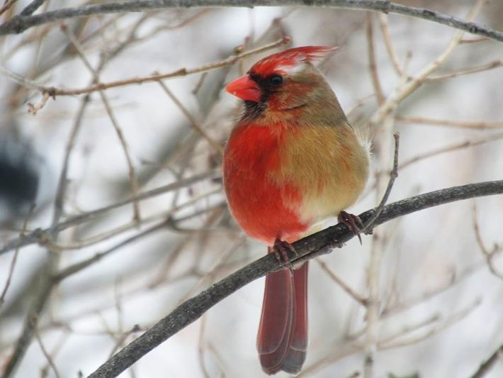 Ce cardinal gynandromorphe a été vu en train de manger dans le jardin de Shirley et ...