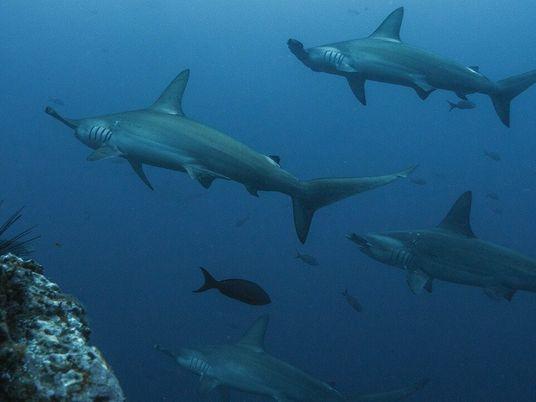 Le requin-marteau halicorne, cet animal rare et menacé