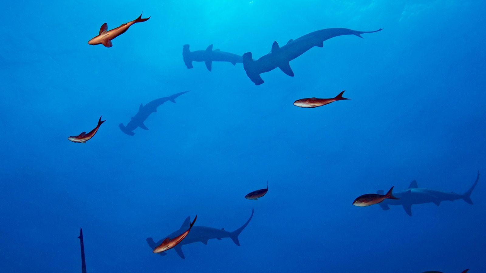 Les requins-marteaux halicornes (Sphyrna lewini) sont connus pour former de grands bancs. Les scientifiques tentent de ...