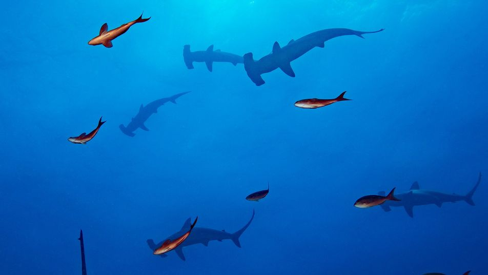 Cette découverte pourrait sauver le requin-marteau des Galápagos