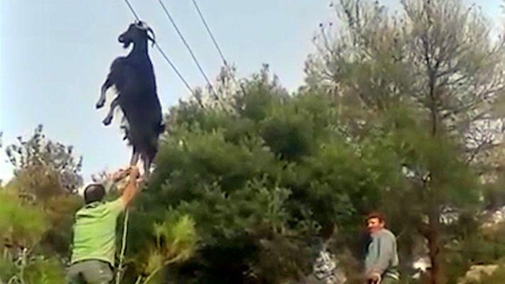 Sauvetage atypique : comment cette chèvre s'est-elle retrouvée là ?.