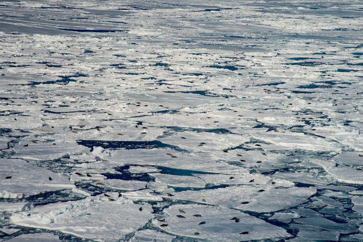 broken-ice-harp-seal-nursery