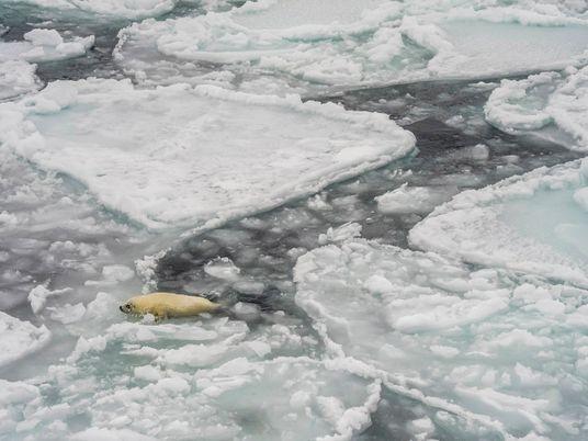 Les phoques du Groenland menacés par la disparition de la banquise