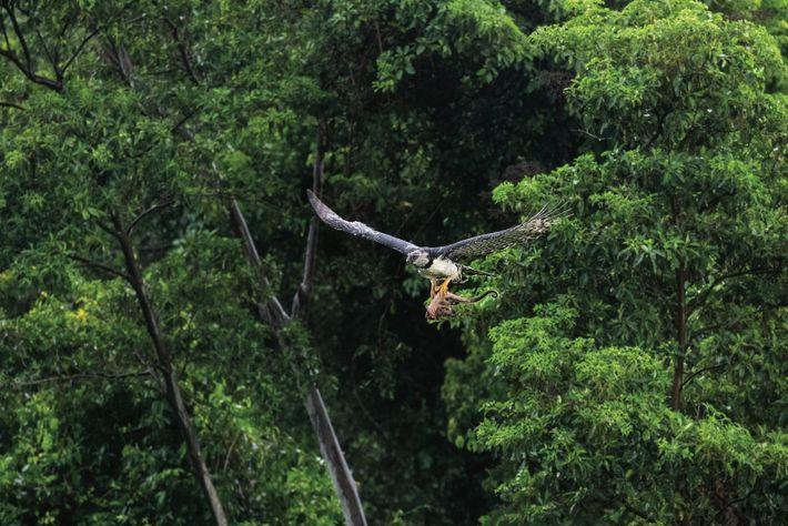D'envergure assez réduite, une harpie peut évoluer à travers la forêt tropicale dense. Elle a la ...