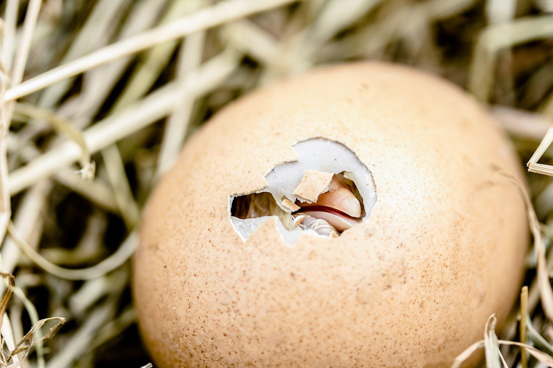 Éclosion d'un œuf de poule