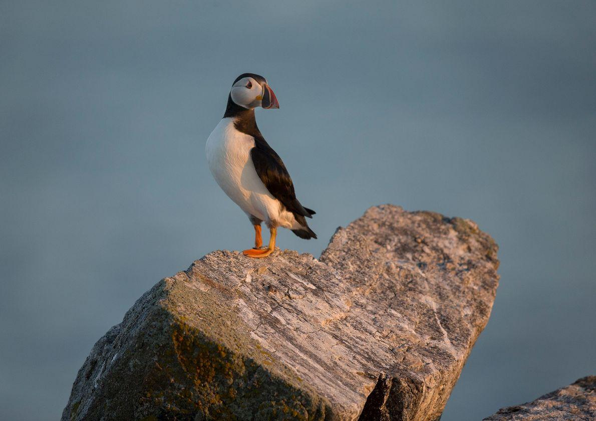 Un macareux moine est perché sur un rocher en forme de cœur sur l'île d'Eastern Egg ...