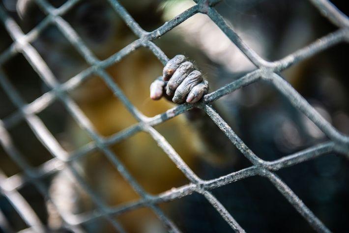 Les 25 singes saisis (dont le mangabey à ventre doré ci-dessus) ont été placés temporairement dans des ...