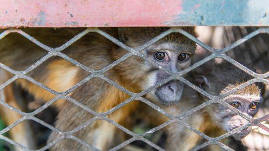 Douze mangabeys à ventre doré et 13 autres singes ont été saisis par les autorités de protection ...