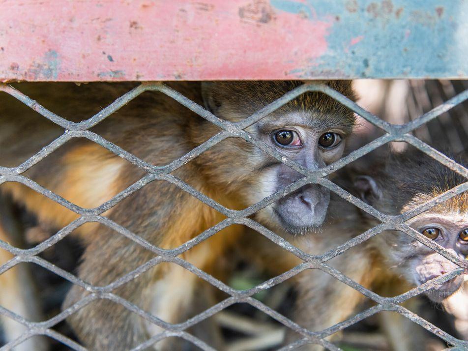 La saisie de 25 singes braconnés met en lumière le trafic d'espèces sauvages africain