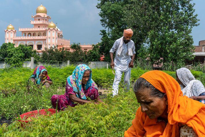 INDE - À Sichewali, au Pendjab, une pépinière cultive des plantes locales, qui verdiront le paysage et ...