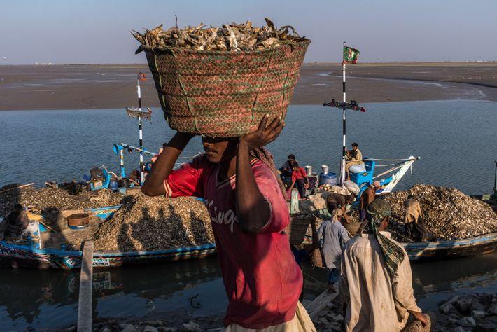 PAKISTAN - En raison du détournement de l'eau de l'Indus pour les besoins d'irrigation, les pêcheurs ...