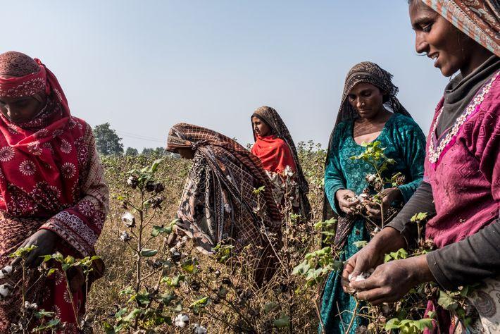 PAKISTAN - Après le blé, le coton occupe plus de terres que toute autre culture au Pakistan, ...