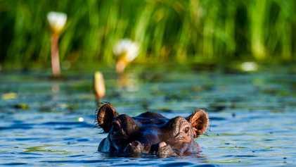 Namibie : une épidémie tue plus d'une centaine d'hippopotames
