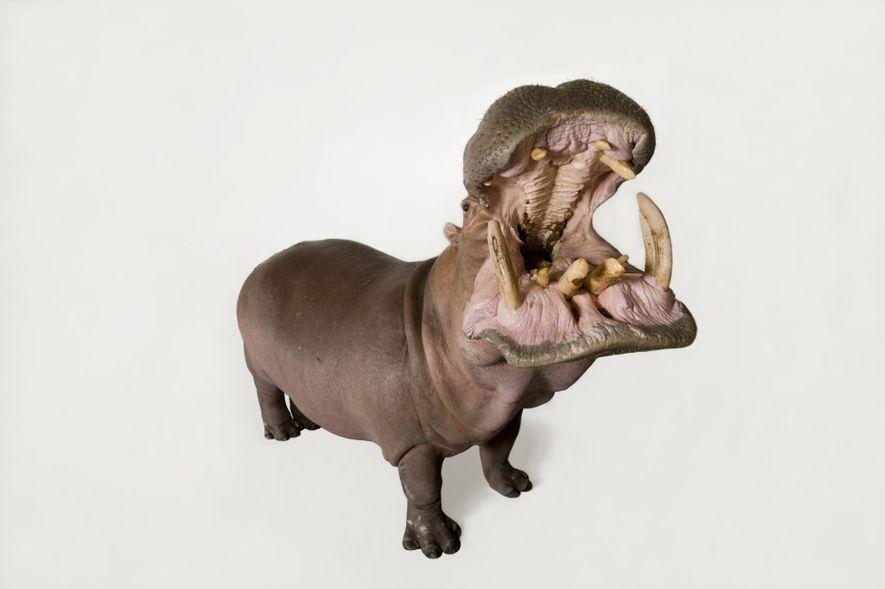Un hippopotame photographié au zoo de San Antonio au Texas.