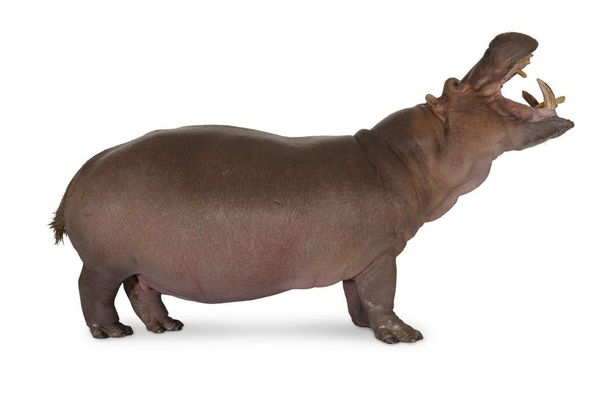 hippopotamus_03