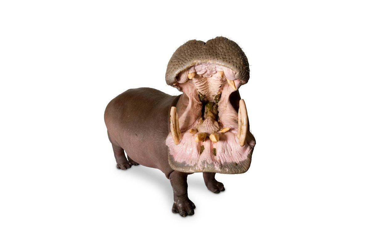 hippopotamus_04