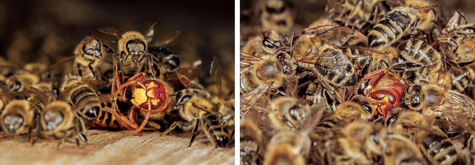 Lorsqu'un frelon s'approche, elles le plaquent et s'agglutinent autour de lui pour l'empêcher de s'enfuir.