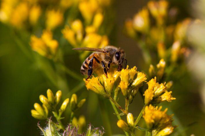 Planter des espèces à fleurs permet de protéger les pollinisateurs comme les abeilles, ici en photo, ...