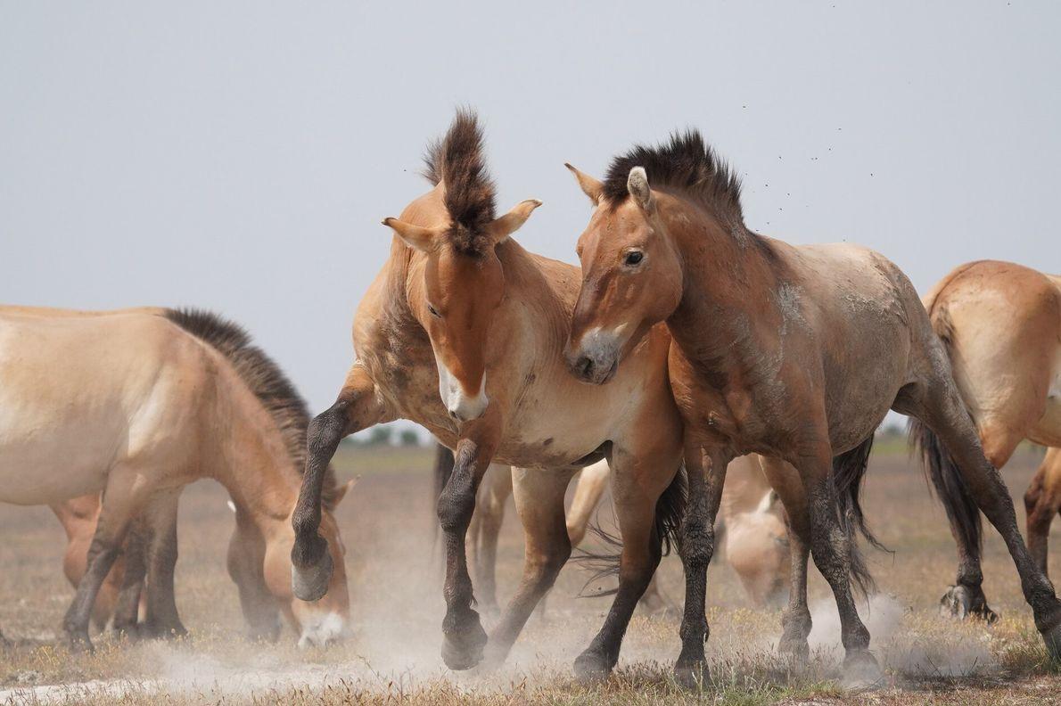 Hortobágy, Hongrie. Des chevaux de Przewalski s'ébrouent dans les prairies sauvages du parc national.